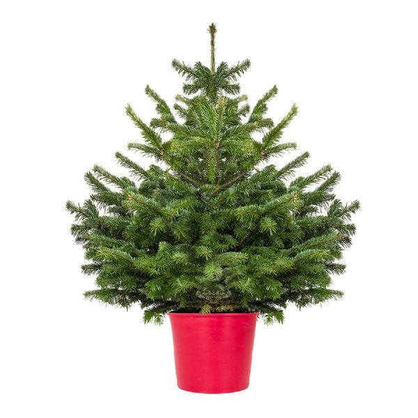 Christmas Trees Bristol: Bristol Freshly Cut Christmas Trees Retail And Wholesale